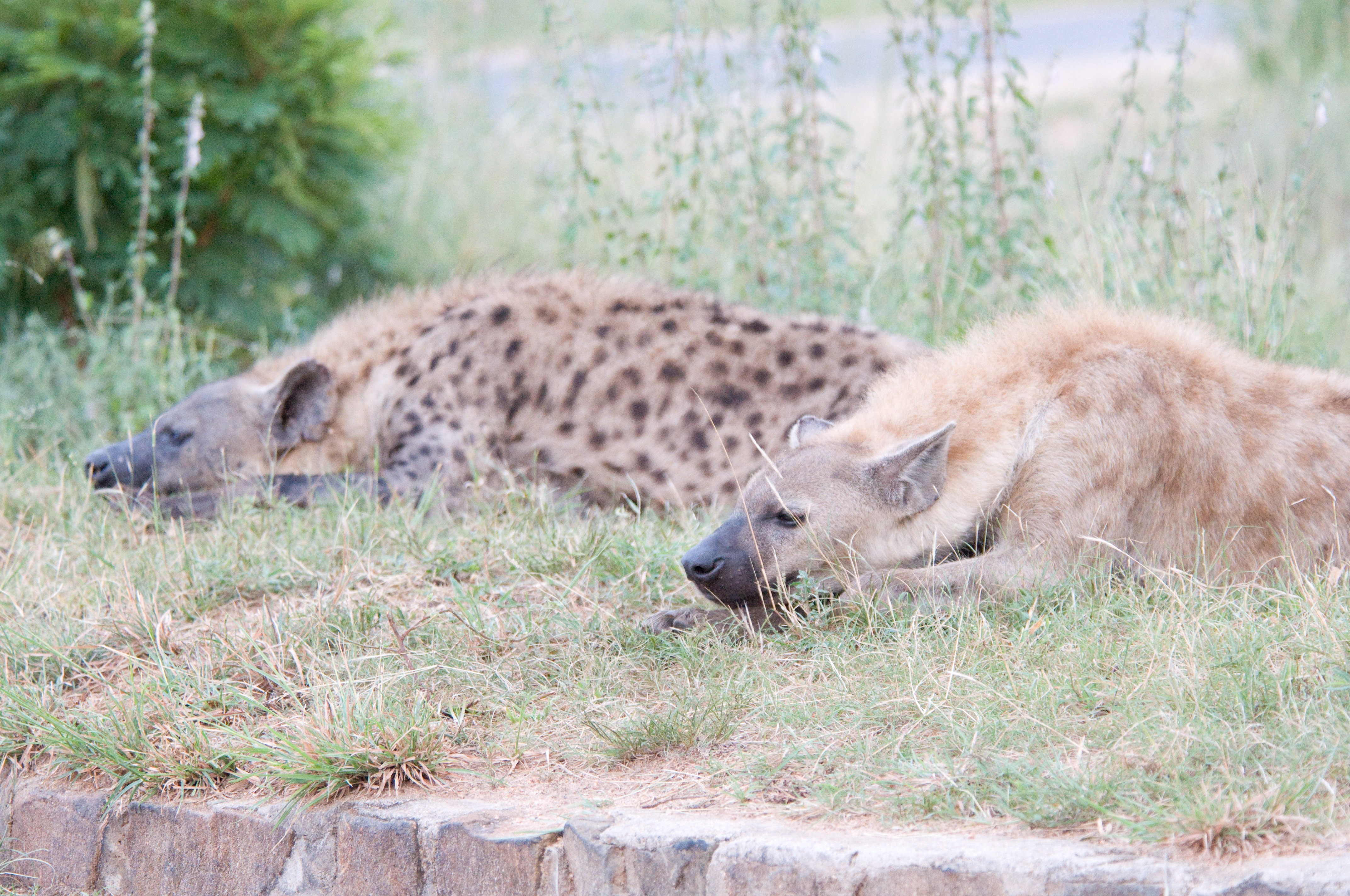 LIONS, VULTURES, HYENAS — OH MY!: Metaphors We Have for Adoption ...